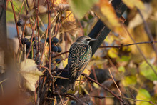 Sturnus Vulgaris Or Common Starling In The Vineyard, Looking For Food. Bird In Its Natural Environment. Bird Photography. Nature Picture. Autumn Scenery.