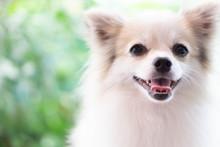Closeup Face Of Puppy Pomerani...