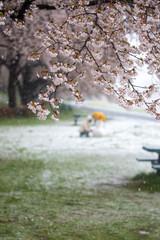 Obraz na płótnie Canvas 吹雪の中で遊ぶ子供と桜