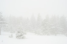 Snow-covered, Coniferous, Whit...