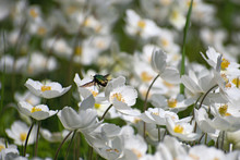 Flying Bright Green May Bug Over Beautiful White Anemone Flowers