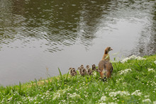 Mother Goose With Young Ones
