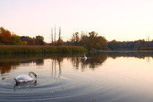 Lake With Swans At Autumn Sunr...