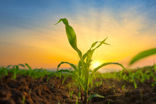 Maize Seedling In The Agricult...