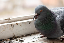 Urban Pigeon Eating Seeds On T...