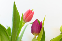 Close-up Of Two Tulips In Bloo...