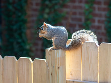 Squirrel Sitting On A Wooden F...