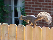 Squirrel Running Across The Top Of A Wooden Fence With A Red Bri