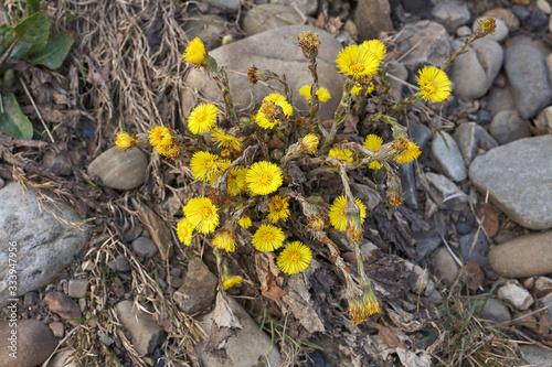 Fényképezés Yellow flowers among the stones