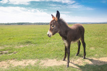 Funny Cute Brown Baby Donkey On The Spring Meadow