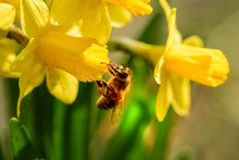 Daffodil And Bee Spring Yellow Flowers