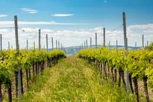 Floral Spacing In Organic Vineyard Near Velke Bilovice, Moravia, Czech Republic