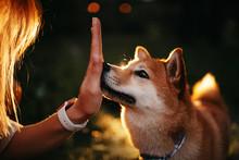 Shiba Inu Dog Touching Owner H...