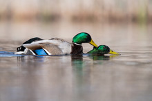 Copulating Males Of Mallard Duck
