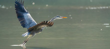 Gray Heron.Wildlife In Natural...