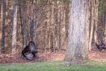 A Large Male Wild Turkey In St...