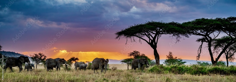 Fototapeta Panoramic shot of a group of elephants in the wilderness at sunset
