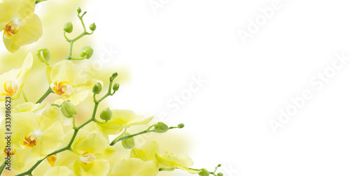 yellow orchids  isolated on white background