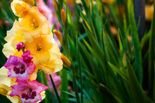 Yellow And Purple Gladiolus Cl...