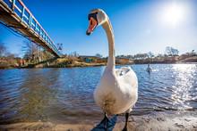 Swimming White Swan / Wild Ani...