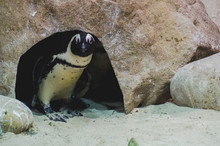 Penguin Peeking Out From Cave