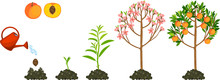 Life Cycle Of Peach Tree Isola...