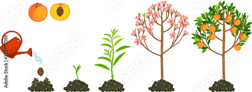 Life cycle of peach tree isolated on white background. Plant growing from seed to peach tree with ripe fruits