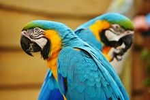 Two Parrots Looking At Opposit...