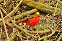 Beautiful Red Golden Pheasant ...