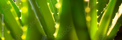 Green Aloe Vera in backlight as panorama background Canvas Print