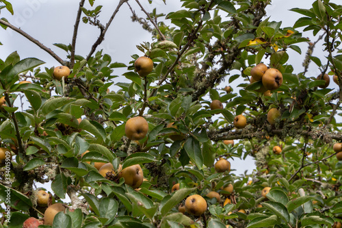 Apples ripening on an apple tree in an orchard during summer Tablou Canvas