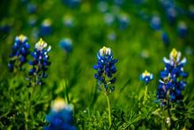 Blue Bonnets In A Field In Texas