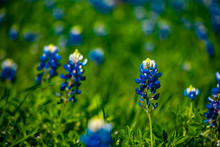 Texas Blue Bonnets In A Field