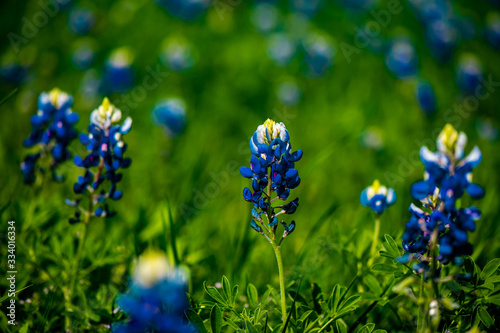 Blue bonnets in a field in Texas Canvas Print