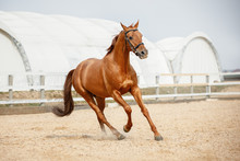 Portrait Of Stunning Chestnut Showjumping Budyonny Stallion Sport Horse In Bridle Galloping In Daytime