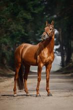 Portrait Of Stunning Chestnut ...
