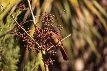 Female Cardinal Bird Cardinalis Cardinalis
