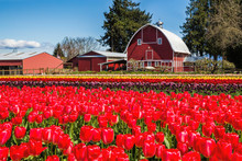 Field Of Tulips With A Red Bar...