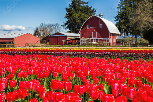 Papel de parede Field of tulips with a red barn in the background