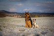 Portrait of German Shepherd and Parson Russell Terrier on the Snow