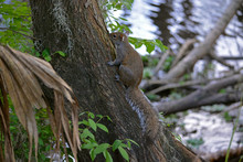 Squirrel Climbing Tree In Florida Wetlands Landscape, Small Cute Wild Rodent