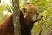 The Red Panda (Ailurus Fulgens).