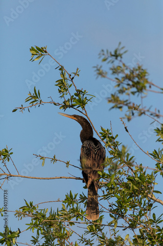 Black male Anhinga anhinga perches high in a tree Canvas Print