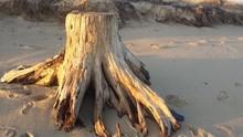Driftwood Stump On Beach Shore
