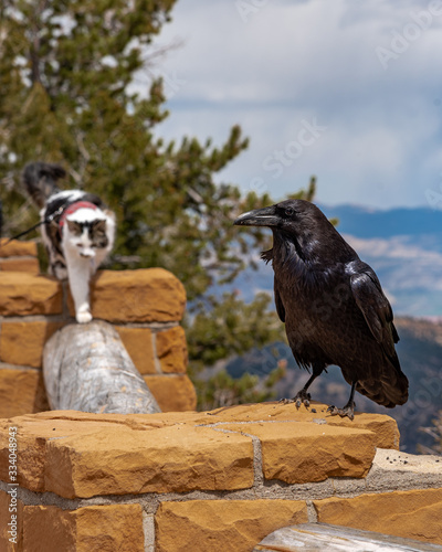 Photo Gertie the adventure cat stalking a large raven in Bryce Canyon National Park, Utah