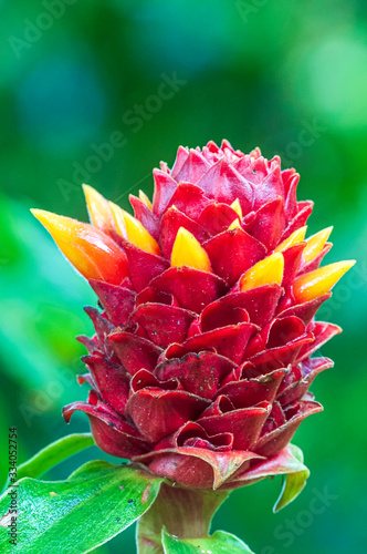 Red Tower Ginger Costus comosus