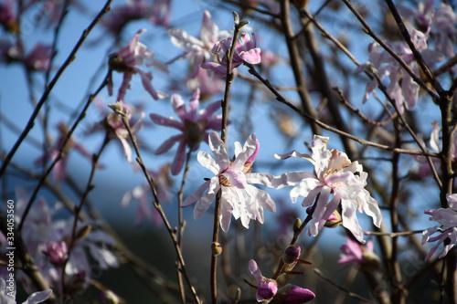 ベニシデコブシは漢字で紅幣辛夷、別名ヒメコブシ、シデコブシの変種で蕾のときの赤紫色は満開になると薄くなる。 Tapéta, Fotótapéta