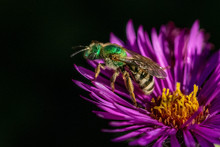 Bee Pollinating In Fall Aster ...