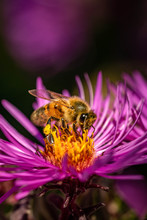 Bee Pollinating In Fall Bloomi...