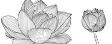 Luxury Lotus Line Arts On  Whi...